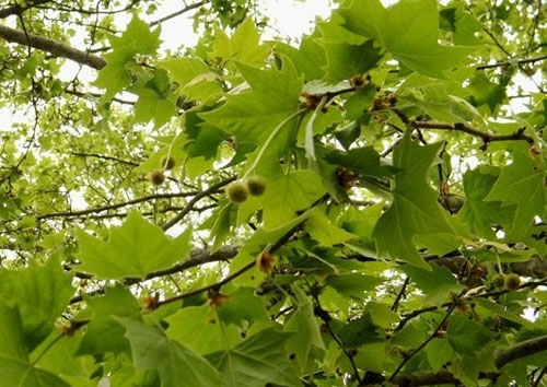 法国梧桐树叶