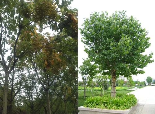 中国梧桐树干(左)及法国梧桐树干(右)