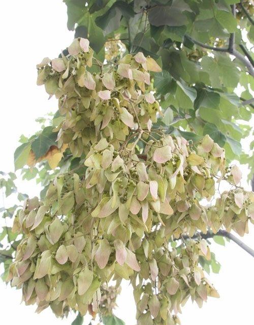 中国梧桐树叶(上半部深绿色部分)及果实(下半部一串串的)